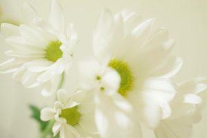 白い菊の供花